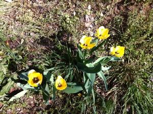 Tulip0_2