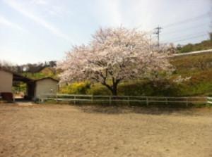 Sakura20122